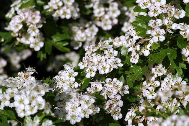 květy hlohu